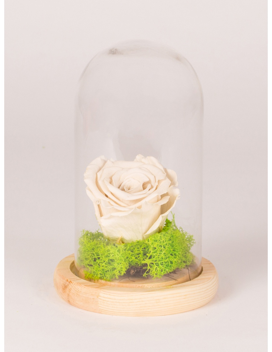 Preserved rose in tall glass bell with wooden base