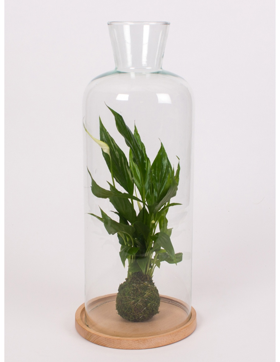 Glass bell h44cm with green plant