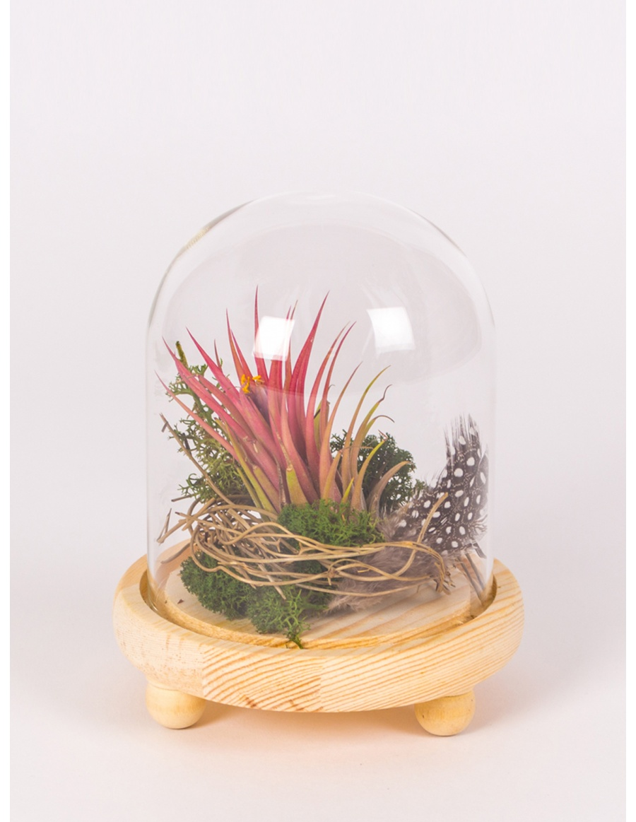 Airplant in glass bell with wooden base