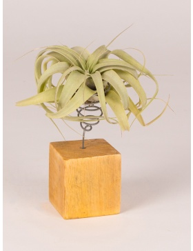 Tilandsia air plant on wooden cube